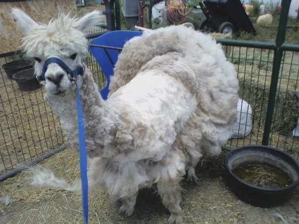 Ernie and his first haircut.