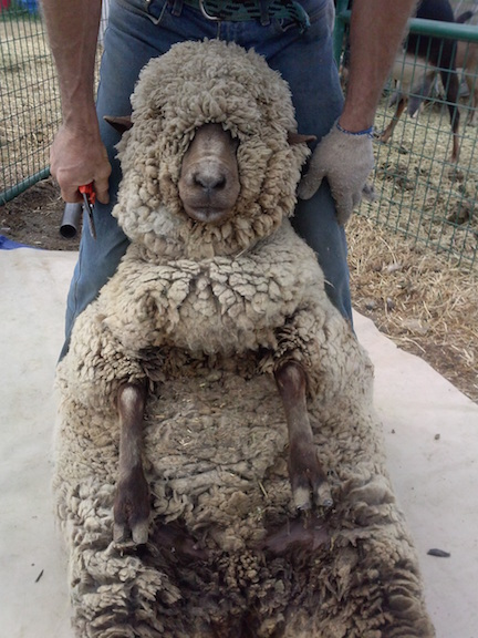 Sheep shearing-ready for a haircut?