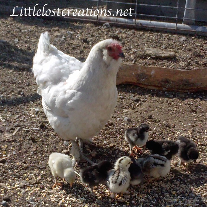Auracan and chicks