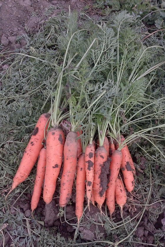 A bundle of carrots