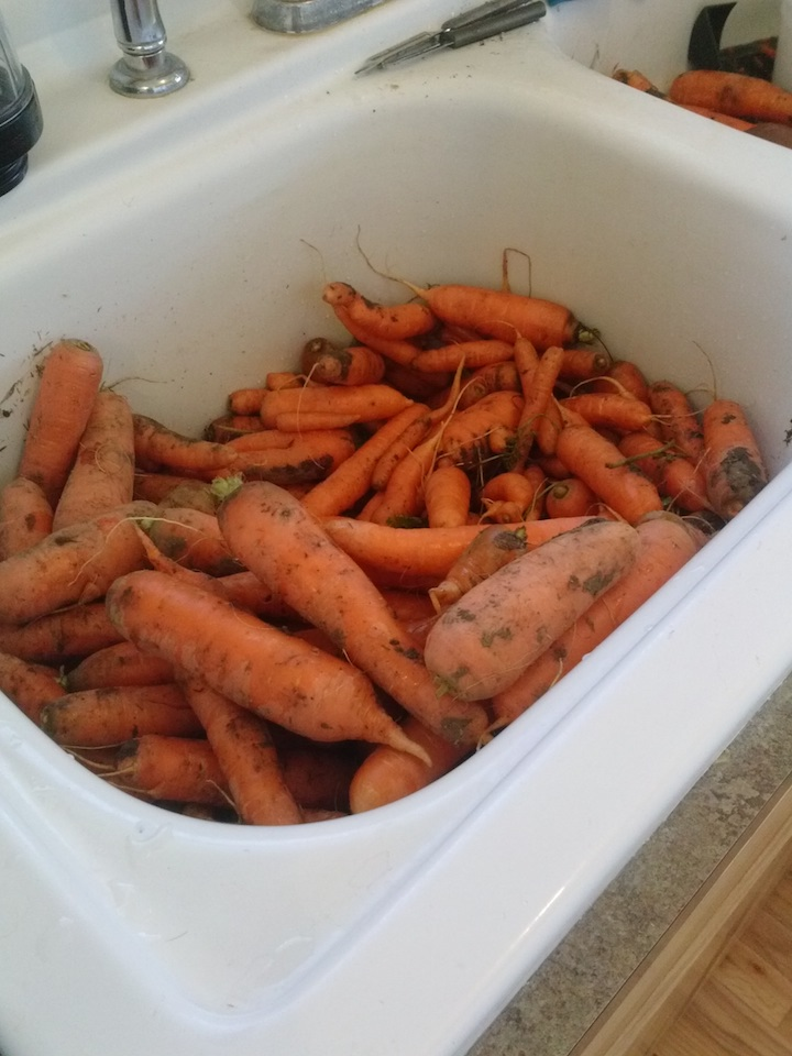 Carrots in my kitchen sink where I washed them again really good.