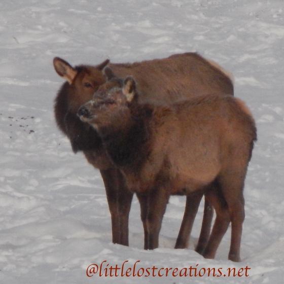 Elk a mothers love