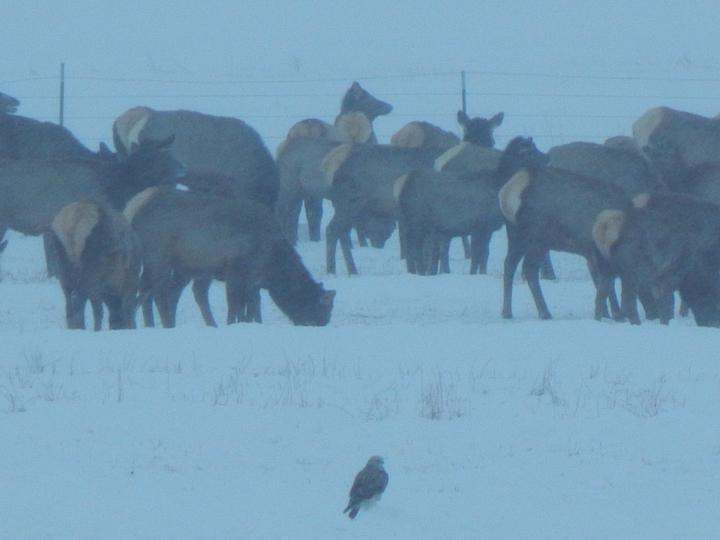 Elk Lost River Valley Hawk spectator