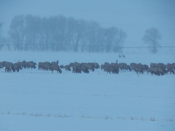 The herd of Elk