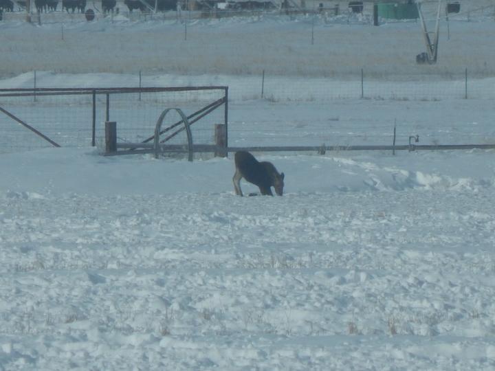 Moose pawing for alfalfa