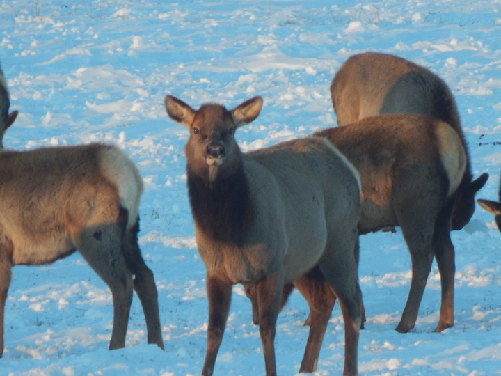 They're Back, part of the elk returned