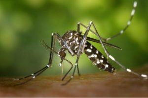 Big ugly mosquito