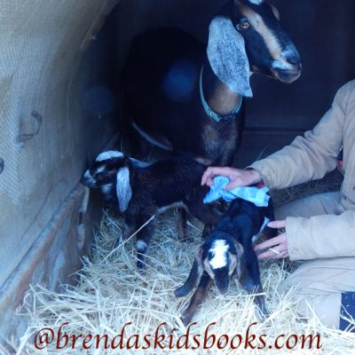 Important Tips ~ After Goat Kids are Born