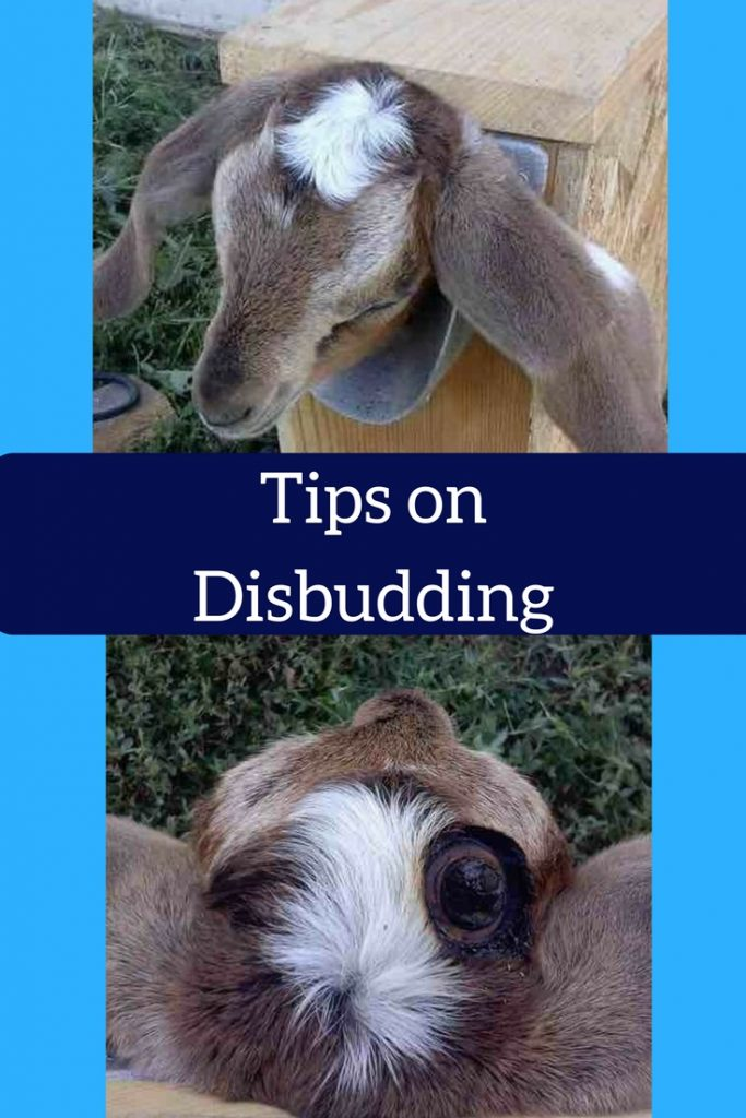 Tips on disbudding goat kid in a box to burn buds