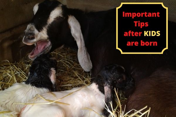 Important tips after the kids are born, mama goat yawning with 2 new babies laying with her