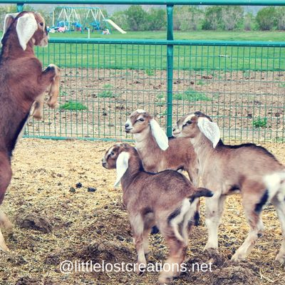 Tips to wean baby goats, 4 baby goats playing, one of the baby goats on his hind legs
