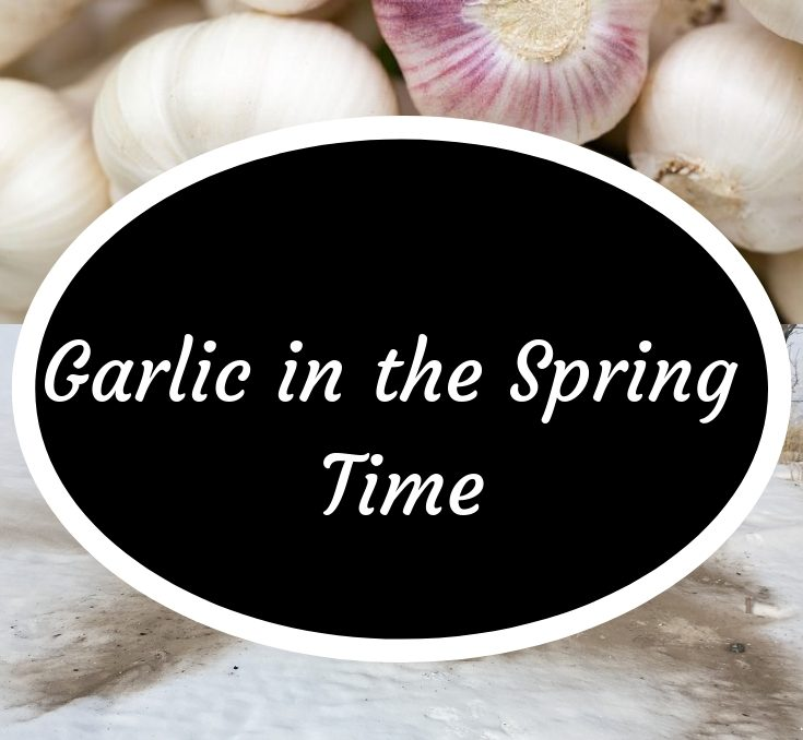 Garlic in the spring time, snow with garlic bulbs at the top of the picture