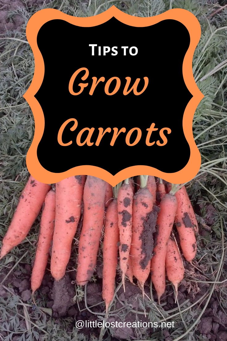 Tips to grow carrots, beautiful carrots right out of the garden