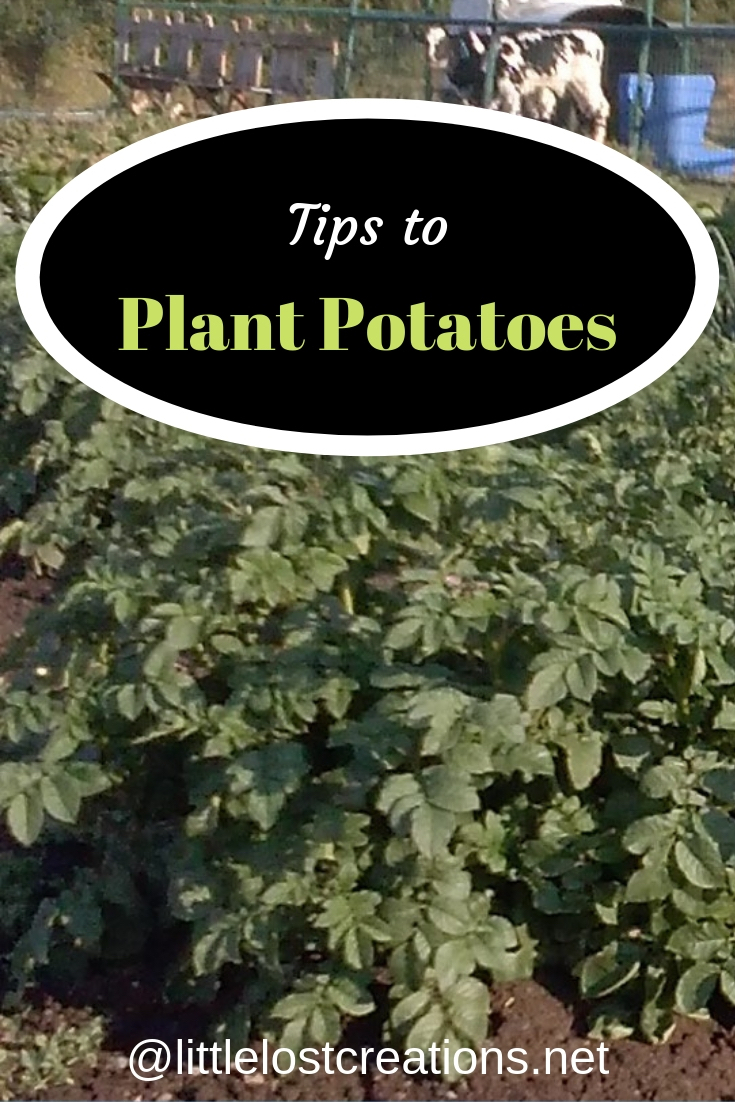 Tips to plant potatoes, big healthy potato plants