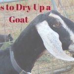 Tips to dry up a milk goat. Nubian goat