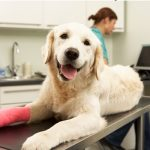 A golden colored dog with a red cast on its right front leg laying on a vet table with a veterinarian person behind it working on an electronic piece of equipment