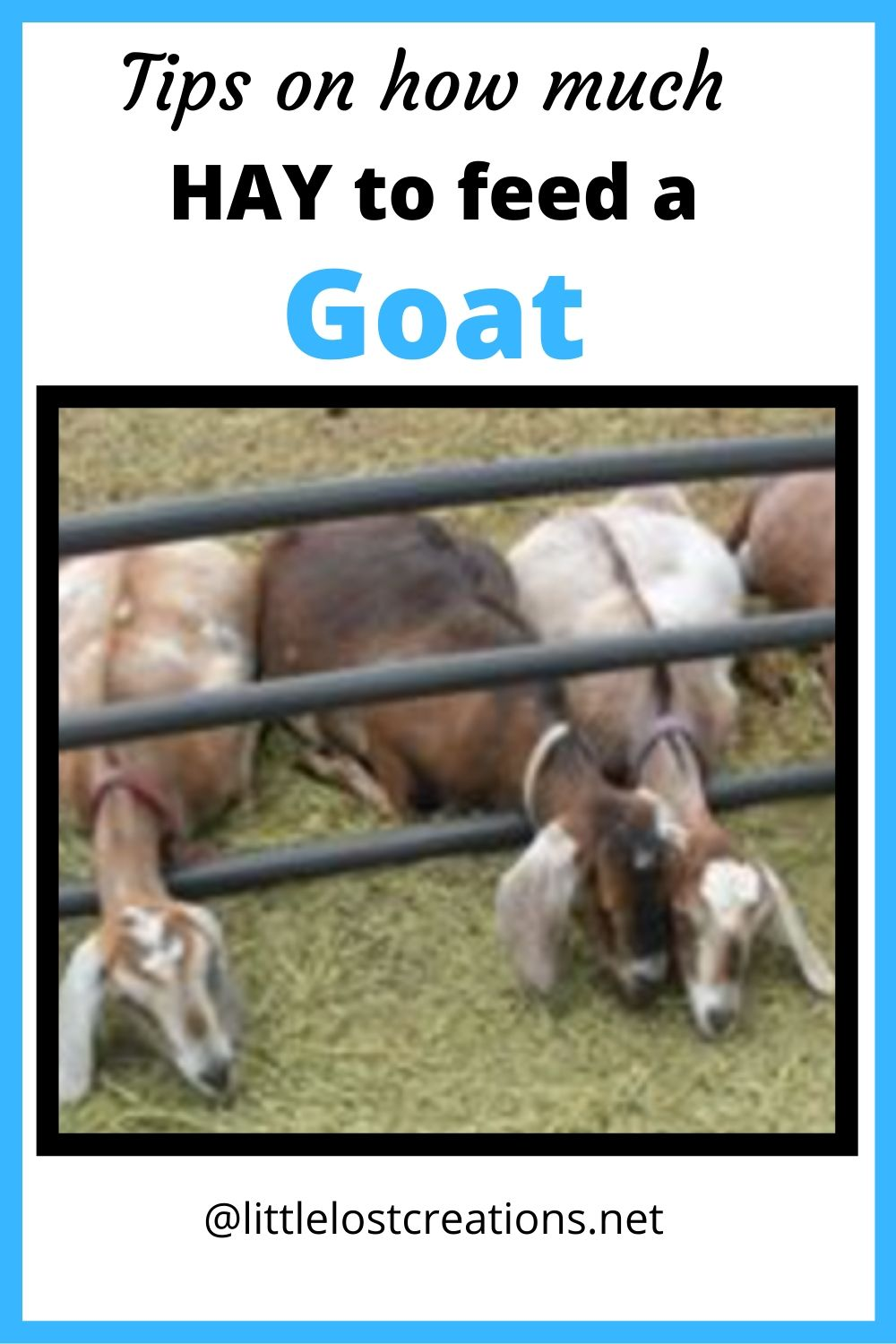3 goats laying on the ground as they eat their hay.  How much hay do you feed a goat.