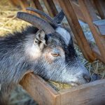 Goat eating hay out of a wooden feeder