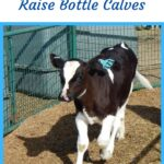 Holstien bottle calf in the corral with a blue ear tag, healthy black and white calf in a corral
