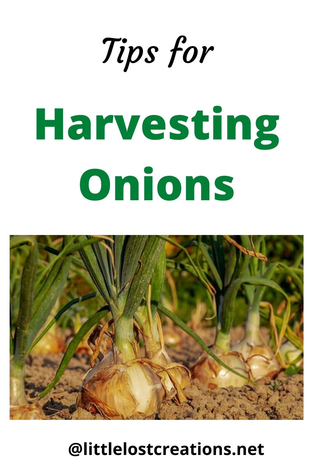 Tips for harvesting onions on the homestead. Onions growing in the garden