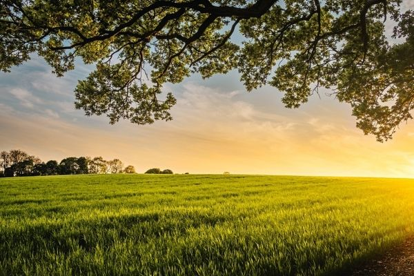 Beautiful green farm field of grain with tree overhanging and trees in the background.  Sunrise in the background with blue skies