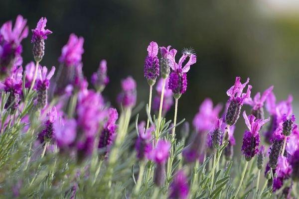 Beautiful lavender plant growing.