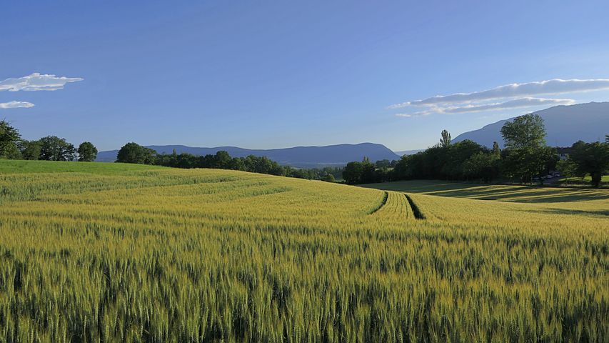 Picture of a green wheat field with mountains in the background